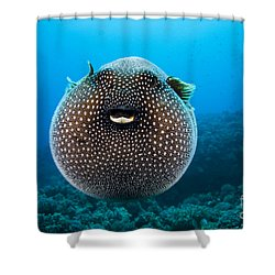 Spotted Pufferfish Shower Curtain by Dave Fleetham - Printscapes