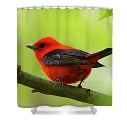 Spring Flame - Scarlet Tanager Shower Curtain