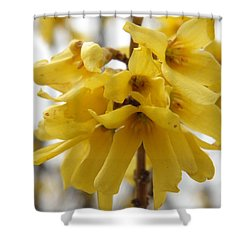 Spring Forsythia Blossoms Shower Curtain by Angie Runyan