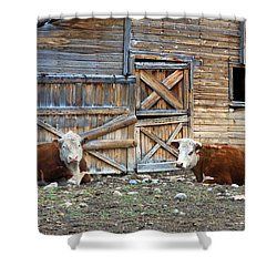 Squires Herefords By The Rustic Barn Shower Curtain