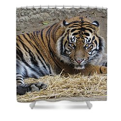 Staring Tiger Also Shower Curtain