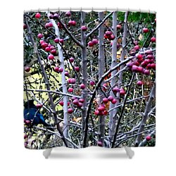 Stellar Jay In Crab Apples Shower Curtain by Will Borden