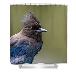 Steller's Jay Portrait Shower Curtain by Kathy King