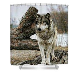 Still Wolf Shower Curtain