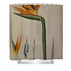 Strelitzia Reginae Shower Curtain by Pierre Joseph Redoute
