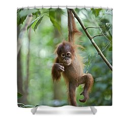 Sumatran Orangutan Pongo Abelii One Shower Curtain by Suzi Eszterhas
