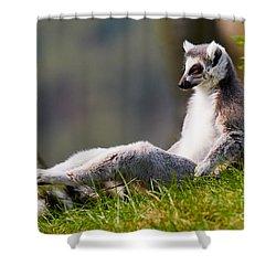 Sun Bathing Ring-tailed Lemur  Shower Curtain