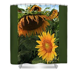 Sun Flowers  Past  And  Present  Shower Curtain