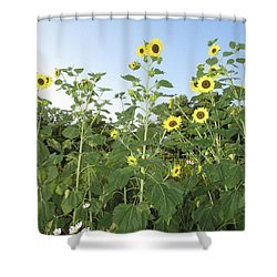 Sunflower Delight Shower Curtain by Charlotte Gray