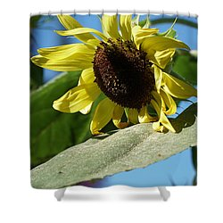 Sunflower, Lemon Queen, With Pollen Shower Curtain