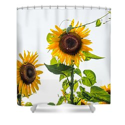 Sunflower With Vine Shower Curtain