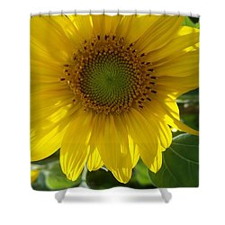 Sunflowers-just Bloomed Shower Curtain