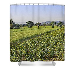 Sunflowers Of Tuscany Shower Curtain by Allan Levin