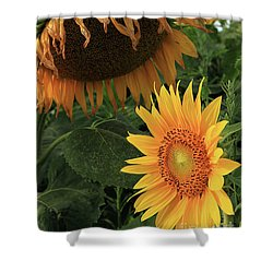 Sunflowers Past And Present Shower Curtain