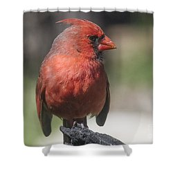 Sunlit Cardinal Shower Curtain