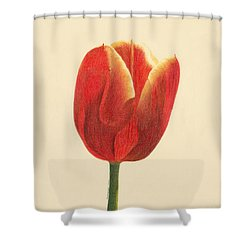 Shower Curtain featuring the drawing Sunlit Tulip by Phyllis Howard