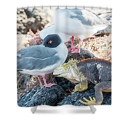 Swallow Tailed Gull And Iguana On  Galapagos Islands Shower Curtain by Marek Poplawski