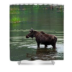 young Moose in spring pond Shower Curtain