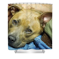 Sweet Pit Bull . Face Of Love Shower Curtain by Renee Trenholm
