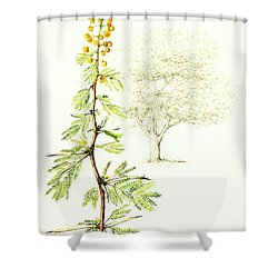 Shower Curtain featuring the painting Sweet Thorn Botanical Illustration by Heidi Kriel