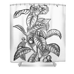 Tea Plant, 19th Century Shower Curtain by Granger
