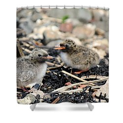 Tern Chicks Shower Curtain by David Grant