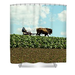 The Amish Farmer With Horses In Tobacco Field Shower Curtain