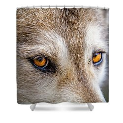 Shower Curtain featuring the photograph The Eyes Of A Great Grey Wolf by Teri Virbickis