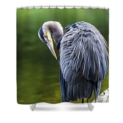 The Great Blue Heron Perched On A Tree Branch Preening Shower Curtain by David Gn