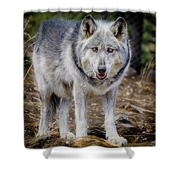 Shower Curtain featuring the photograph The Great Gray Wolf by Teri Virbickis