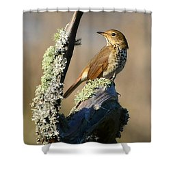 The Hermit Thrush Shower Curtain by Kathy Baccari