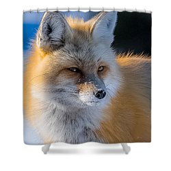 Shower Curtain featuring the photograph The Red Fox Portrait In Snow by Yeates Photography