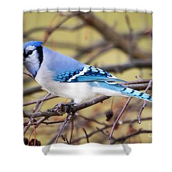 The Winter Blue Jay  Shower Curtain