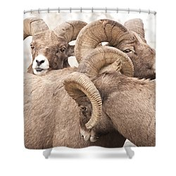 Three Bighorn Rams Shower Curtain