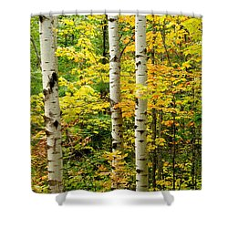 Three Birch Shower Curtain