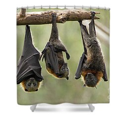 Three Flying Foxes Shower Curtain by Craig Dingle