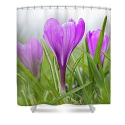 Three Glorious Spring Crocuses Shower Curtain by Betty Denise