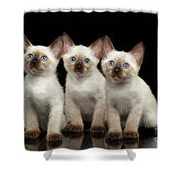 Three Kitty Of Breed Mekong Bobtail On Black Background Shower Curtain by Sergey Taran