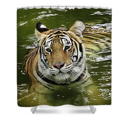 Shower Curtain featuring the photograph Tiger In The Water by Pamela Walton