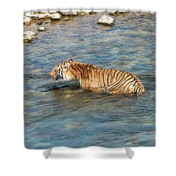 Tiger In The Water Shower Curtain
