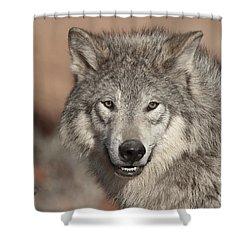 Timber Wolf Portrait Shower Curtain by Sandra Bronstein