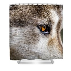 Shower Curtain featuring the photograph Timber Wolf Stare by Teri Virbickis