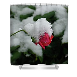 Too Soon Winter - Red Rose  Shower Curtain