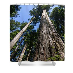 Towering Redwoods Shower Curtain