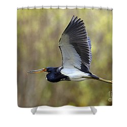Tri Colored Heron In Flight Shower Curtain