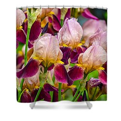 Tricolored Irisses Shower Curtain