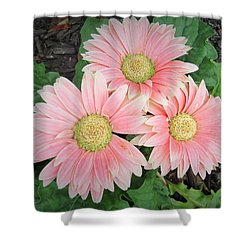 Trio Of Gerbers Shower Curtain by Jeanette Oberholtzer