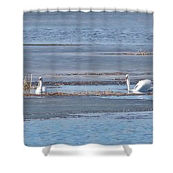 Shower Curtain featuring the photograph Trumpeter Swans 0933 by Michael Peychich