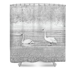 Shower Curtain featuring the photograph Trumpeter Swan's Winter Rest Gray by Jennie Marie Schell