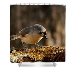 Tufted Titmouse In Fall Shower Curtain by Sheila Brown